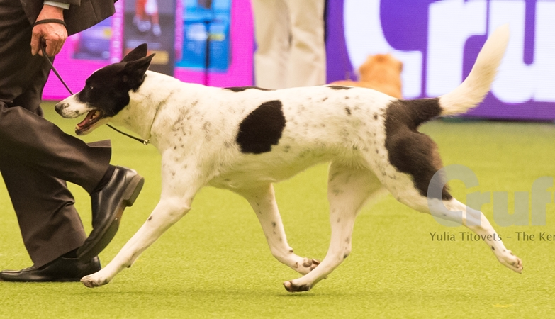 Astor at Crufts 2017