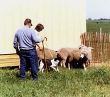 Ariel being tested for herding at the '88 National Specialty